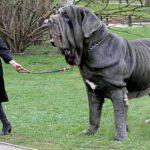 List 9 Giống Chó To Nhất Thế Giới