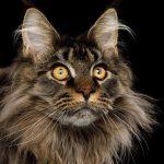 Danh Sách Top 9 Giống Mèo Lớn Nhất Thế Giới