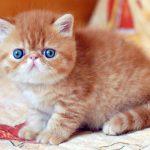 Danh Sách 6 Loài Mèo Dễ Thương Bậc Nhất