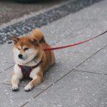 List 10 Giống Chó Cảnh Nuôi Phổ Biến Ở Việt Nam
